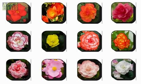 begonia flowers onet classic game