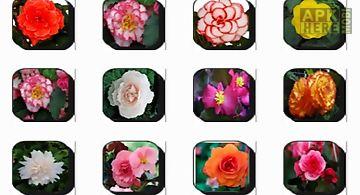 Begonia flowers onet classic gam..