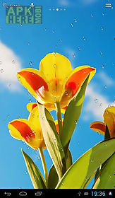 drops on tulips live wallpaper
