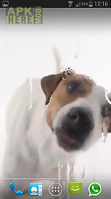 dog licks screen lwp free live wallpaper