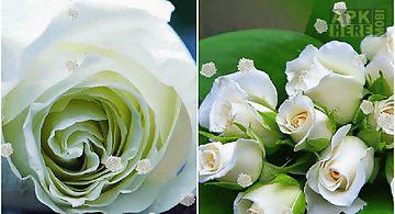 White rose Live Wallpaper