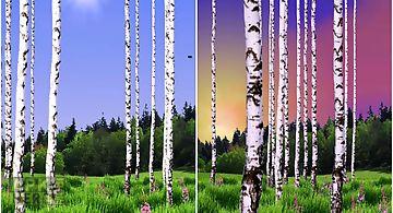 Birch wood Live Wallpaper