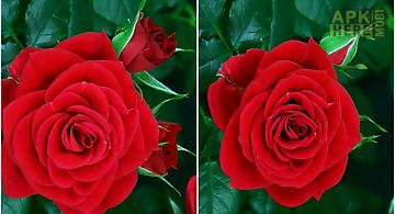 Blooming red rose Live Wallpaper