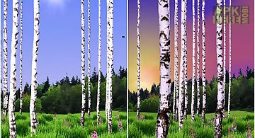 Birch wood landscape Live Wallpa..