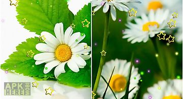 Summer camomile Live Wallpaper