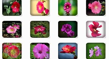 Hollyhock flowers onet classic g..