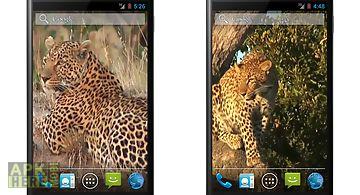 Leopard free video wallpaper