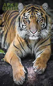 Tiger Live Wallpaper For Android Free Download At Apk Here Store