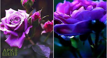 Violet rose Live Wallpaper