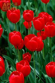 red flowers wallpapers red flowers wallpapers red flowers wallpapers ...
