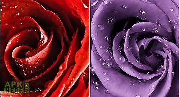 Rose macro Live Wallpaper